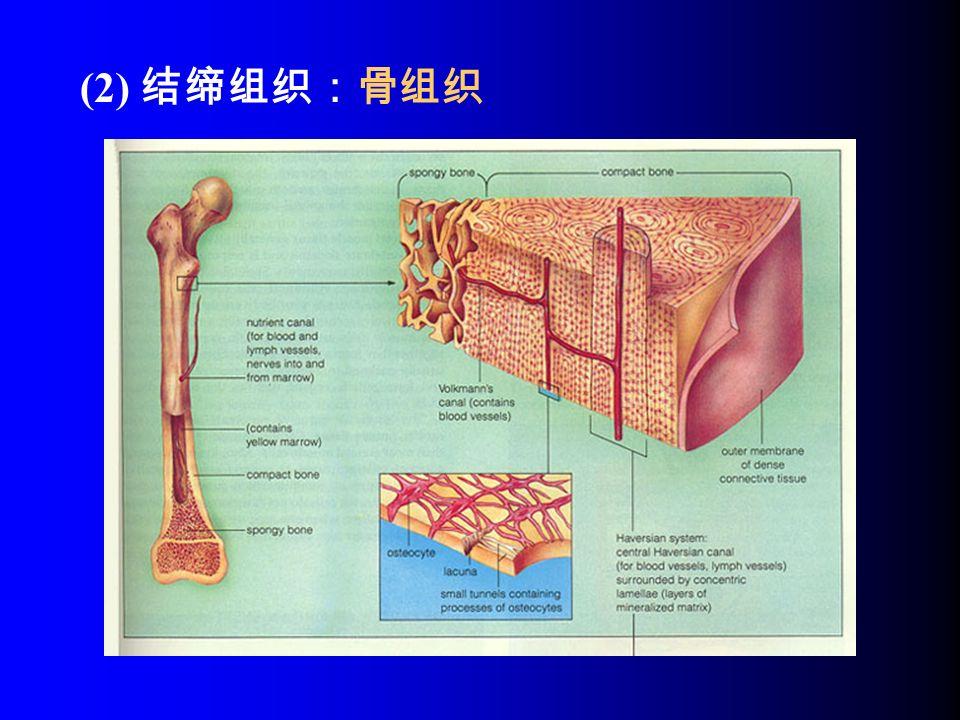 (2) 结缔组织:骨组织