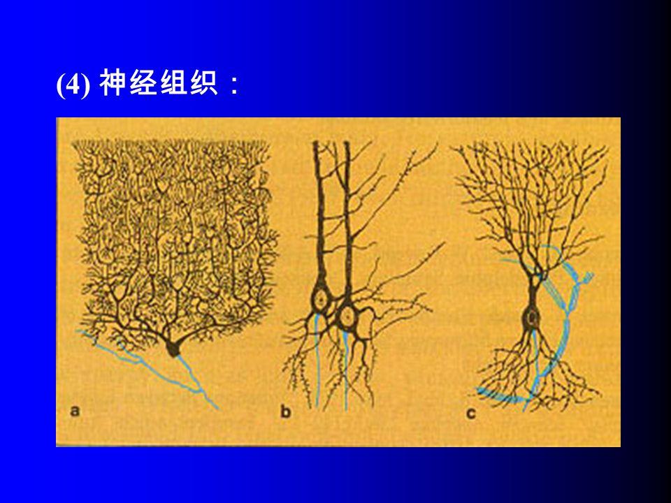 (4) 神经组织: