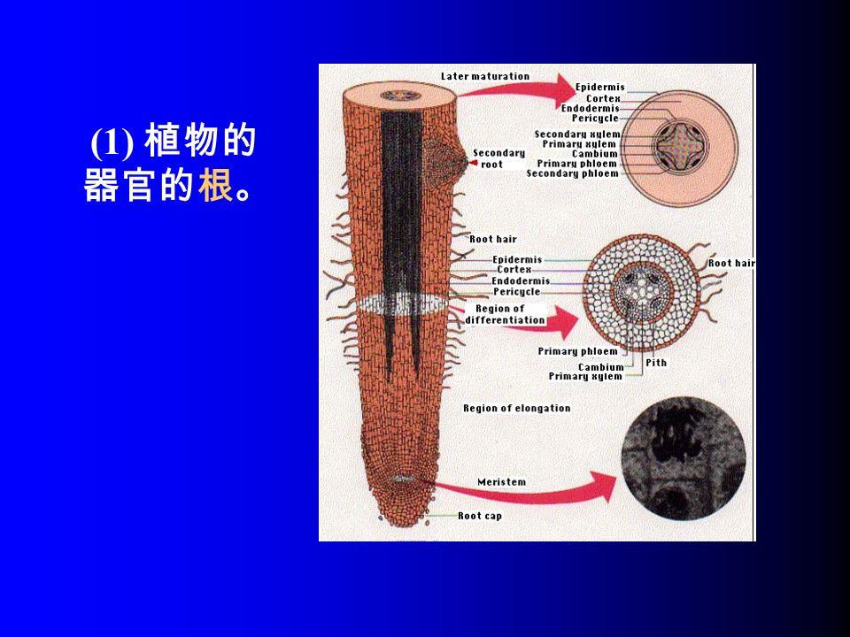 (1) 植物的 器官的根。