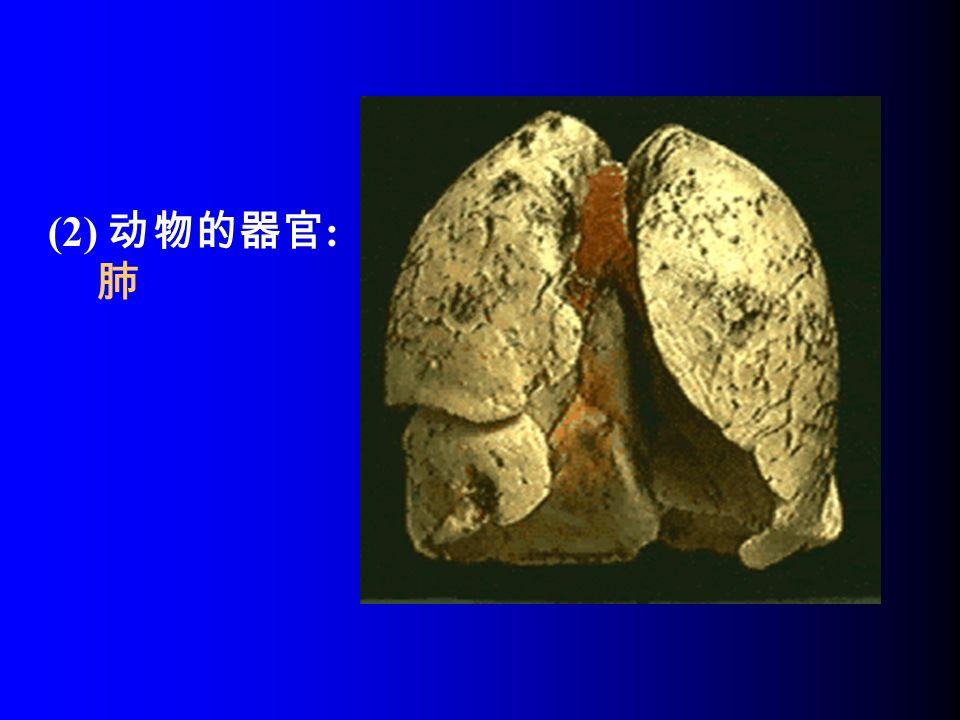 (2) 动物的器官 : 肺