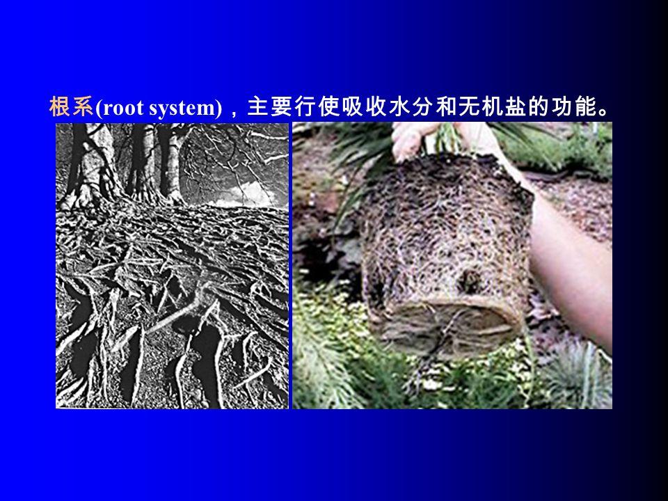 根系 (root system) ,主要行使吸收水分和无机盐的功能。