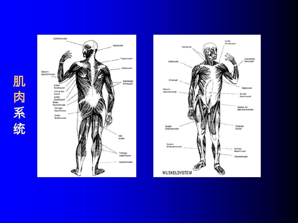 肌肉系统肌肉系统
