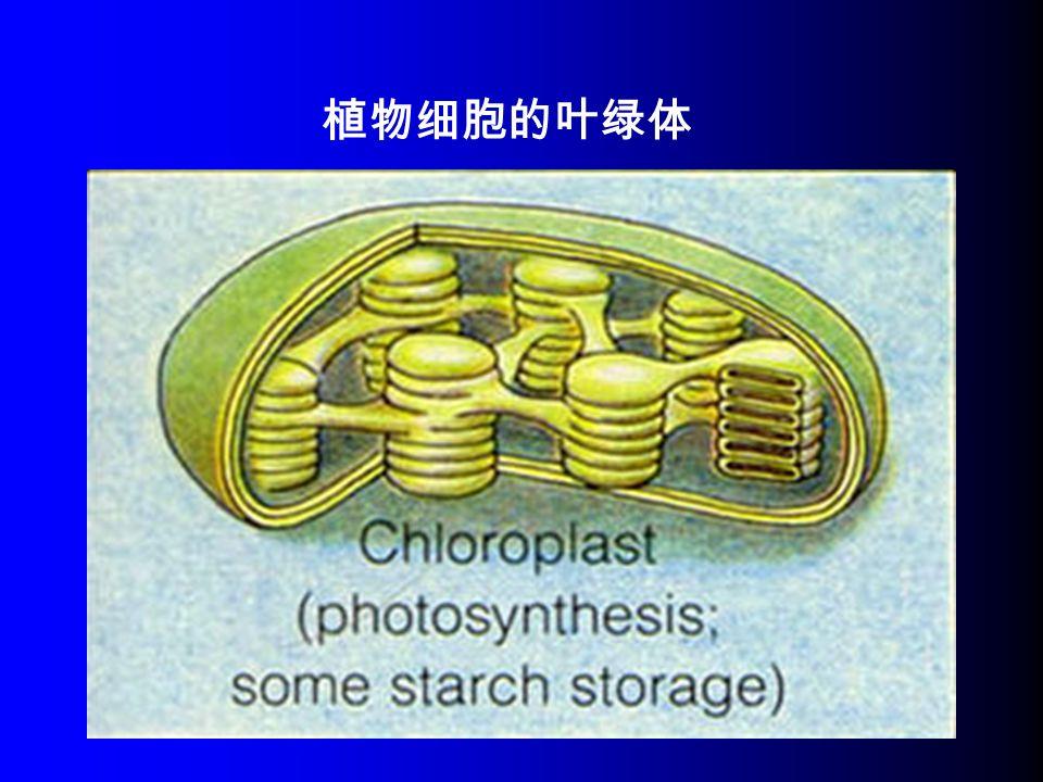 植物细胞的叶绿体