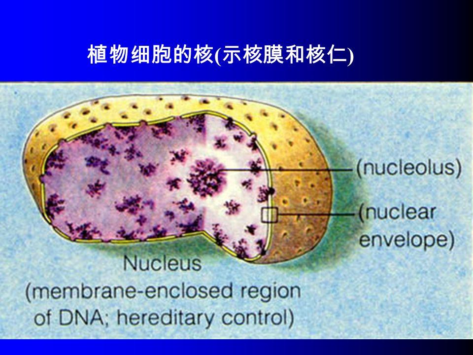 植物细胞的核 ( 示核膜和核仁 )