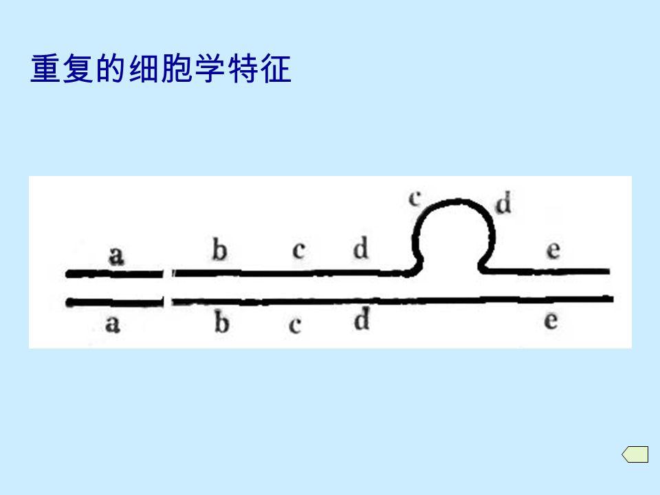 10.2.2 重复的细胞学特征与鉴定  重复圈 ( 环 )  二价体末端不配对突出  果蝇唾腺染色体的重复圈 注意: 重复与缺失的区分 当重复区段很短时 重复纯合体