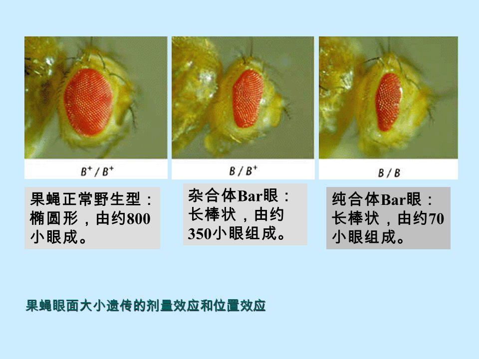 果蝇 X 染色体上 16A 区段重复的形成