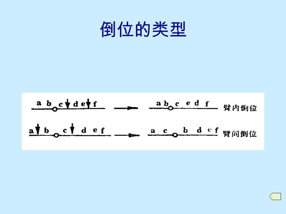 10.3.1 倒位的类型与形成  倒位的类型 臂内倒位 (paracentric inversion) 臂间倒位 (pericentic inversion)  倒位的形成  相关术语 倒位染色体 倒位杂合体 (inversion heterozygote) 倒位纯合体 (inversion homozygote)