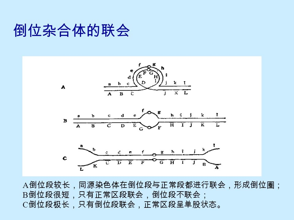 10.3.2 倒位的细胞学特征与鉴定  臂间倒位 形成倒位圈 倒位段不联会 正常区段不联会  臂内倒位 后期 I 桥和染色体断片  注意: 区分倒位圈与缺失 ( 重复 ) 圈的结构差异 倒位纯合体无明显细胞学特征