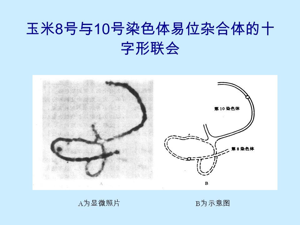相互易位杂合体的联会和分离
