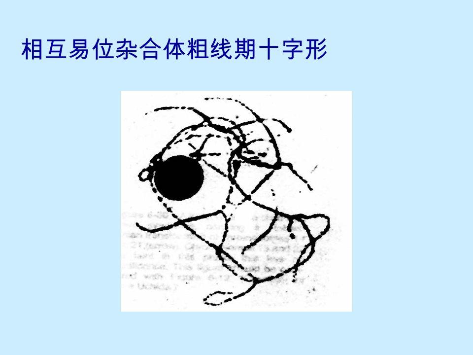 玉米 8 号与 10 号染色体易位杂合体的十 字形联会 A 为显微照片 B 为示意图