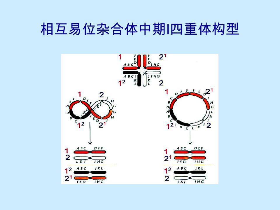 相互易位杂合体中期 I 四重体大环