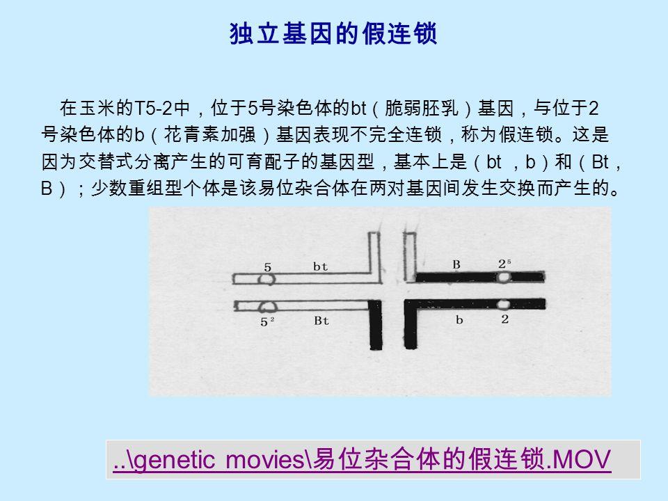 连锁关系的改变  玉米正常植株的 wx (糯淀粉层)基因和 v (黄绿苗)基因连 锁在 9 号染色体上。由于 T5-9a 的易位点处于以上两基因之间, wx 基因转移到 5 号染色体,所以以上两基因在易位纯合体中 是独立遗传的。  相反地,正常植株 5 号染色体的 pr (红色糊粉层)基因,本 来与 9 号染色体的 wx 基因是独立遗传的,但 pr 随染色体易位 而转移到 9 号染色体后,不论在易位纯合体或易位杂合体中, 都与 wx 发生连锁。
