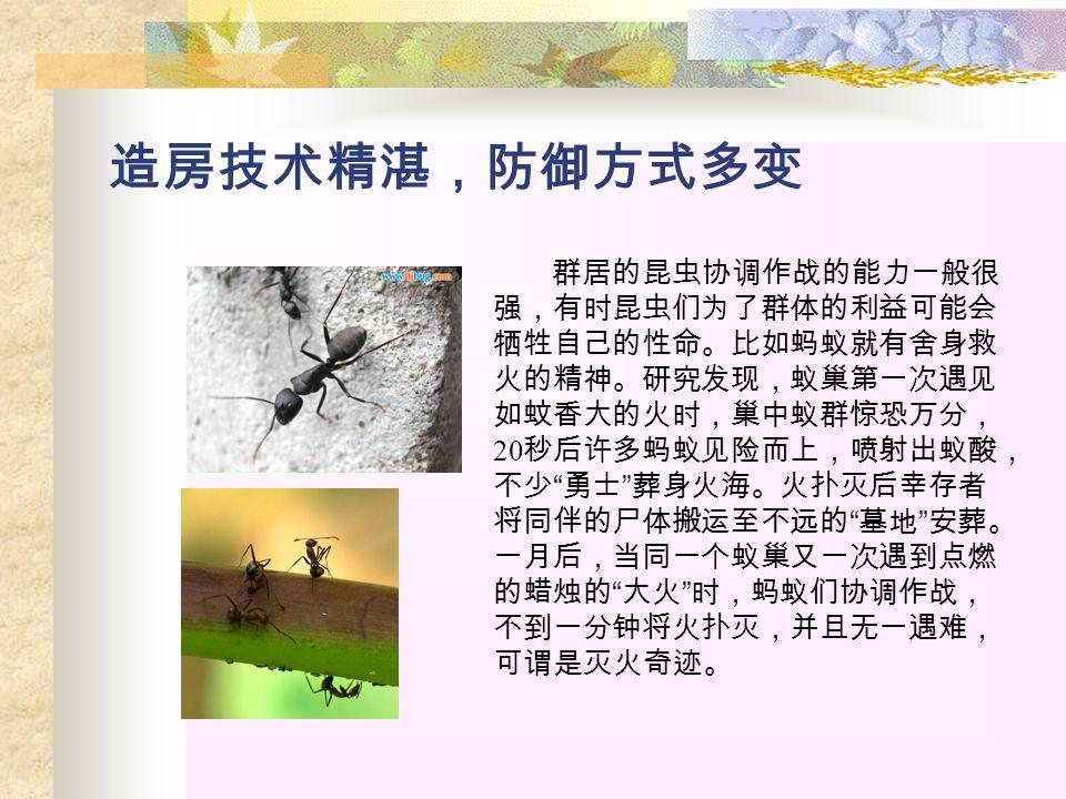 造房技术精湛,防御方式多变 群居的昆虫协调作战的能力一般很 强,有时昆虫们为了群体的利益可能会 牺牲自己的性命。比如蚂蚁就有舍身救 火的精神。研究发现,蚁巢第一次遇见 如蚊香大的火时,巢中蚁群惊恐万分, 20 秒后许多蚂蚁见险而上,喷射出蚁酸, 不少 勇士 葬身火海。火扑灭后幸存者 将同伴的尸体搬运至不远的 墓地 安葬。 一月后,当同一个蚁巢又一次遇到点燃 的蜡烛的 大火 时,蚂蚁们协调作战, 不到一分钟将火扑灭,并且无一遇难, 可谓是灭火奇迹。