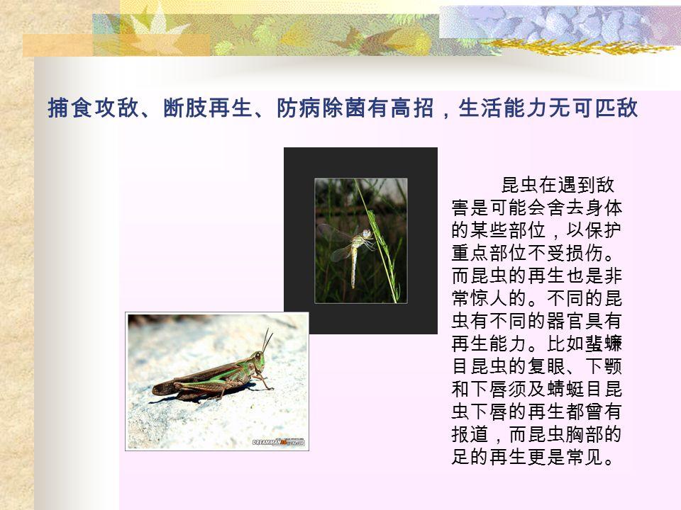 捕食攻敌、断肢再生、防病除菌有高招,生活能力无可匹敌 昆虫在遇到敌 害是可能会舍去身体 的某些部位,以保护 重点部位不受损伤。 而昆虫的再生也是非 常惊人的。不同的昆 虫有不同的器官具有 再生能力。比如蜚蠊 目昆虫的复眼、下颚 和下唇须及蜻蜓目昆 虫下唇的再生都曾有 报道,而昆虫胸部的 足的再生更是常见。