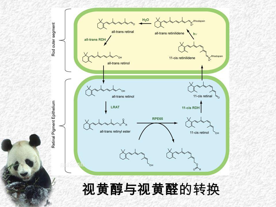 视黄醇与视黄醛的转换