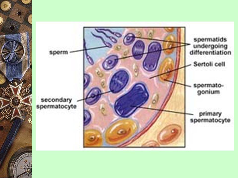 2) 生長期 (stage of growth) 生長 精原細胞 (2n) ----- > 初生精母細胞 (2n) * 減數分裂 I 初生精母細胞 (2n) ----- > 次生精母細胞 3) 成熟期 (stage of maturation) * 減數分裂 II 次生精母細胞 ----- > 4 x 精細胞 (n) 精子細胞分化作用 ----- > 精子 (n)