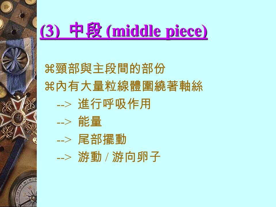 (2) 頸部 (neck)  精子最短的部份  呈圓柱狀  內有一對中心粒,互相垂直 : 1) 前端 - 位在細胞核底部的淺窩中 2) 後端 - 作為基粒,形成尾部的軸絲