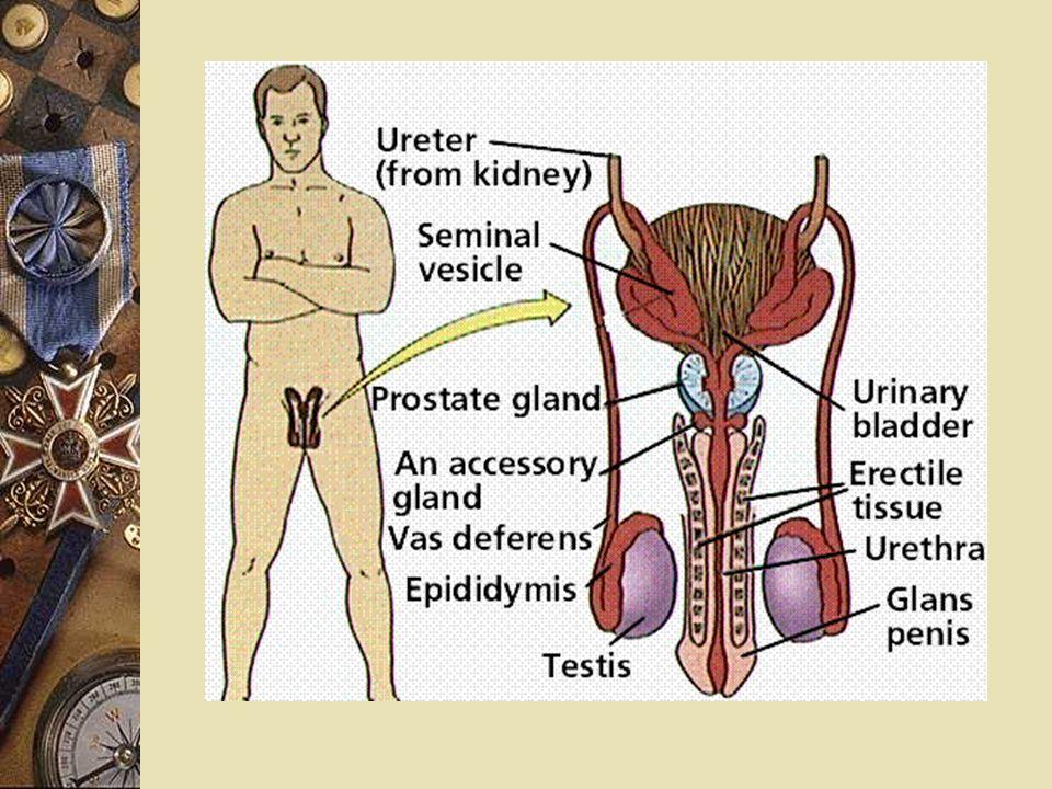 男性生殖系統的構造 (Structure of male reproductive system)  外生殖器官 (external reproductive organs) - 陰囊、及陰莖  內生殖器官 (internal reproductive organs) - 睪丸、生殖管 ( 副睪、輸精管、射精 管 ) 、附屬腺 ( 貯精囊、前列腺、尿道 球腺 ) 、及陰莖