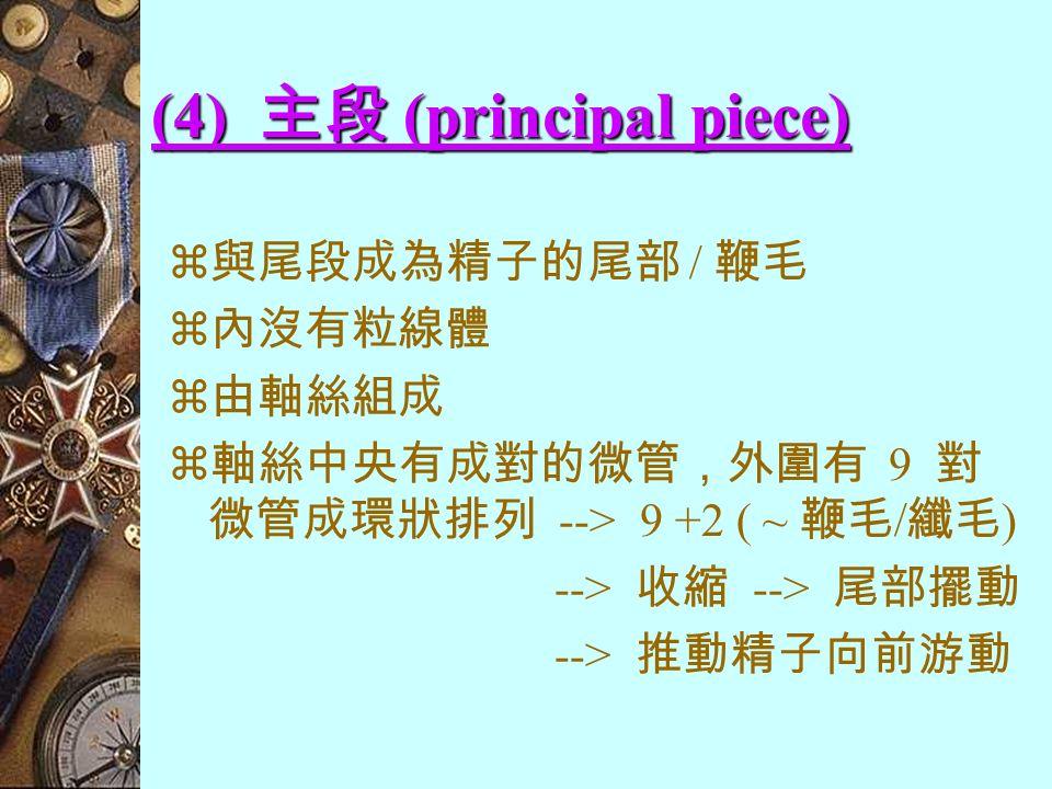 (3) 中段 (middle piece)  頸部與主段間的部份  內有大量粒線體圍繞著軸絲 --> 進行呼吸作用 --> 能量 --> 尾部擺動 --> 游動 / 游向卵子