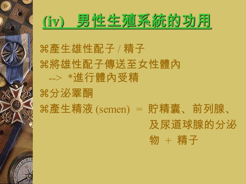 (viii) 陰莖 (penis)  由三條柱狀的海綿組織組成  外圍由纖維組織覆蓋  被彈性的皮膚覆蓋於其上  最前端略大為膨大,是最敏感的部位, 由包皮 (prepuce / foreskin) 圍著  內有尿道 (urethra)  功用 : 1) 排尿 (urination) 2) 交配 (copulation) 3) 排精 (ejaculation)