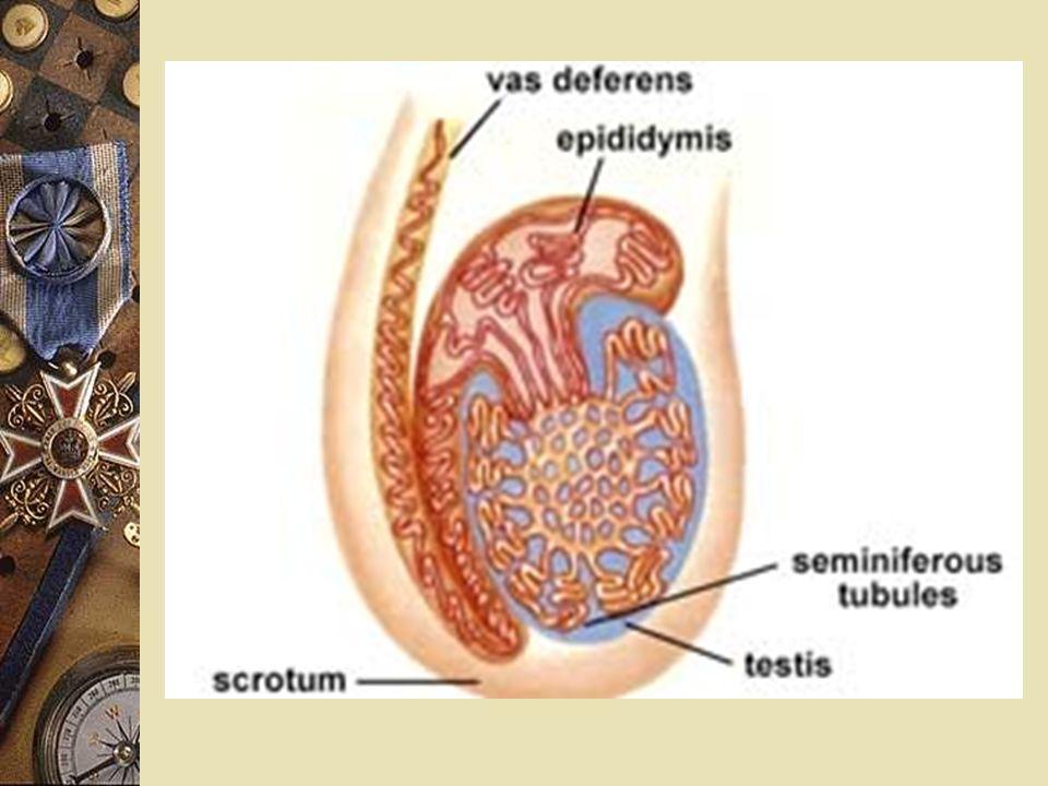 (i) 睪丸 (Testes)  是性腺 / 生殖腺 --> 產生精子  由精索 (spermatic cord) 懸掛在陰囊 (scortal sac) 內  精索內有睪丸動脈、睪丸靜脈、淋巴管、 神經、及輸精管  構造 : 1) 被膜 2) 精小管 3) 間質細胞