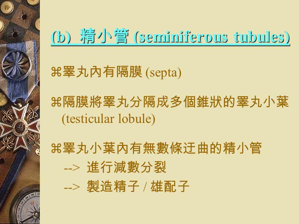 (a) 被膜 (tunica albuginea)  將睪丸包裹  纖維狀外膜