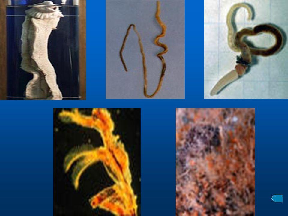 三。分类 1 。羽鳃纲( Class Pterobranchiata ) 小型(小于 8mm ),通常群体生活于分泌的 管中,肠道为 U 形。无鳃裂或有两对鳃裂。代 表动物有杆壁虫和头盘虫。 2 。肠鳃纲( Class Enteropneusta ) 固着生活。有多个鳃裂。代表动物为柱头虫。