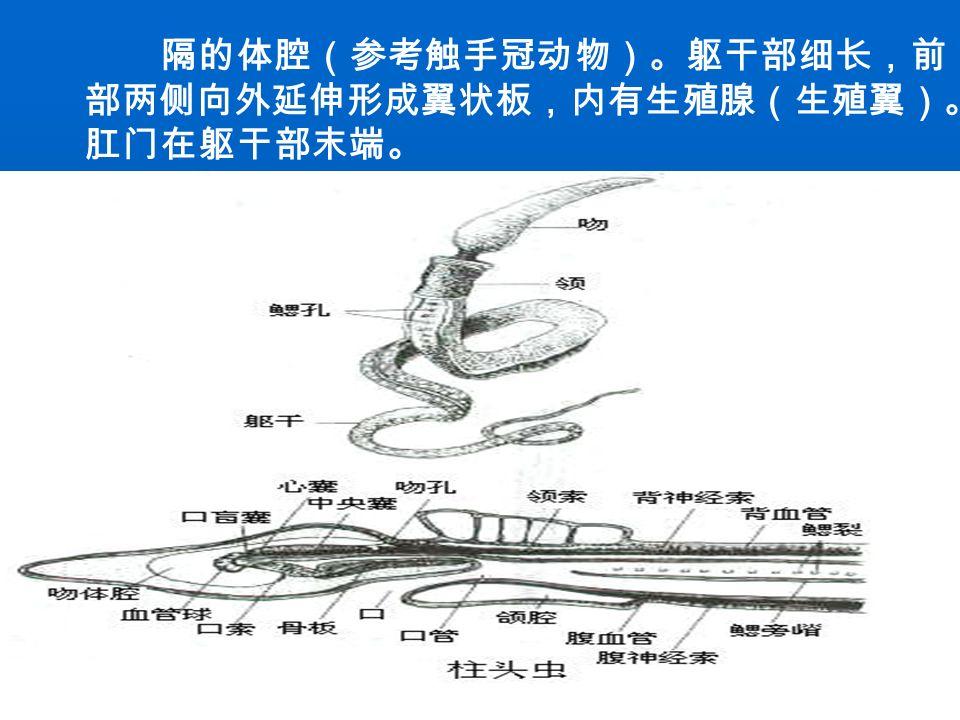 二。结构和功能的适应 1 .生物体类型 体呈蠕虫状,或固着生活,后口式发育。半索动 物曾经被分在脊索动物门中,也曾被视为无脊椎的脊 索动物称为原索动物( protochordata )。和脊索动物 相似,它有由背部上皮发生而来且中空的背神经索。 但现在认为其口索与脊索不是同源器官,因此将其从 脊索动物中分出,独立为半索动物。 2 .身体结构 三胚层,两侧对称,真体腔动物。身体不分节, 只分为吻、领和躯干三个部分(图)。通常咽上有鳃 裂。身体分为前体、中体和后体,每部分都有分
