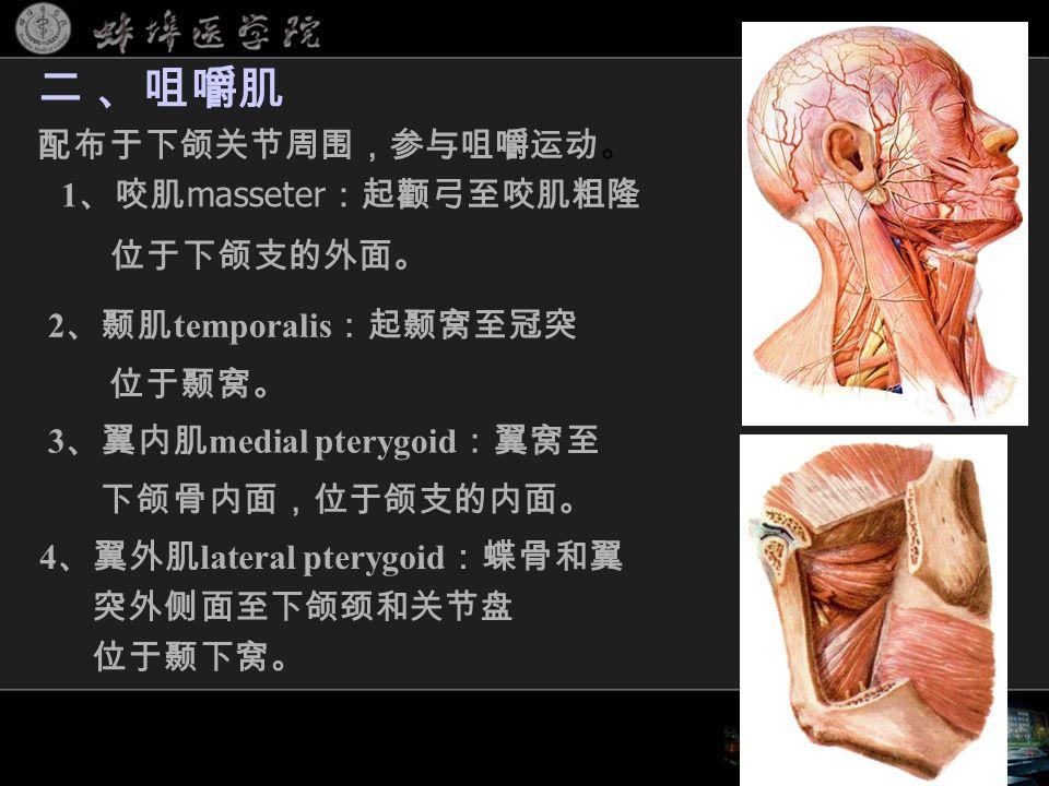 1 、咬肌 masseter :起颧弓至咬肌粗隆 位于下颌支的外面。 二 、咀嚼肌 配布于下颌关节周围,参与咀嚼运动。 2 、颞肌 temporalis :起颞窝至冠突 位于颞窝。 3 、翼内肌 medial pterygoid :翼窝至 下颌骨内面,位于颌支的内面。 4 、翼外肌 lateral pterygoid :蝶骨和翼 突外侧面至下颌颈和关节盘 位于颞下窝。