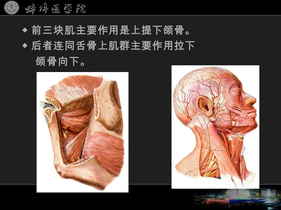 ◆ 前三块肌主要作用是上提下颌骨。 ◆ 后者连同舌骨上肌群主要作用拉下 颌骨向下。