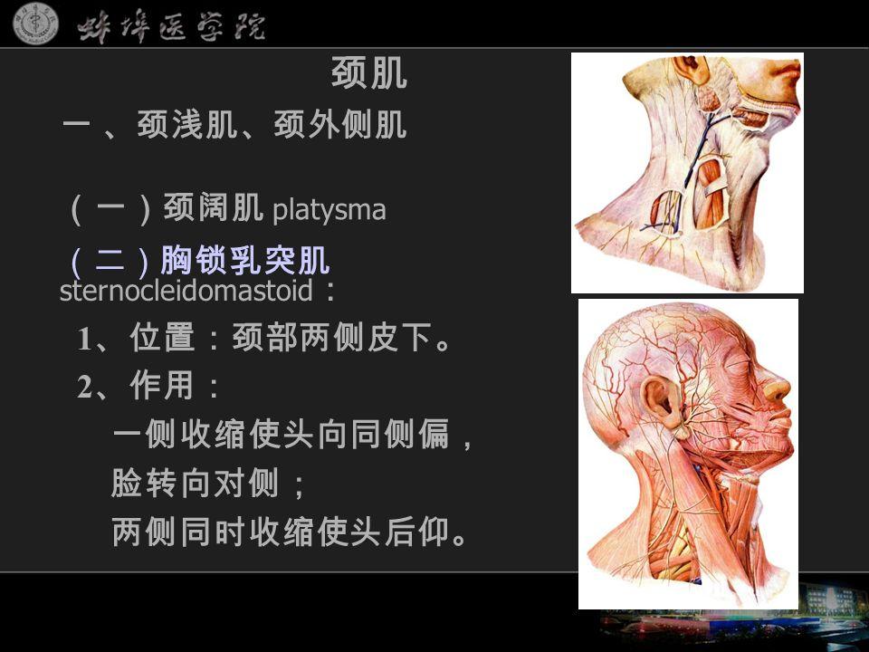 (二)胸锁乳突肌 sternocleidomastoid : 1 、位置:颈部两侧皮下。 2 、作用: 一侧收缩使头向同侧偏, 脸转向对侧; 两侧同时收缩使头后仰。 颈肌 一 、颈浅肌、颈外侧肌 (一)颈阔肌 platysma eg, 接生损伤副神经 or 此肌