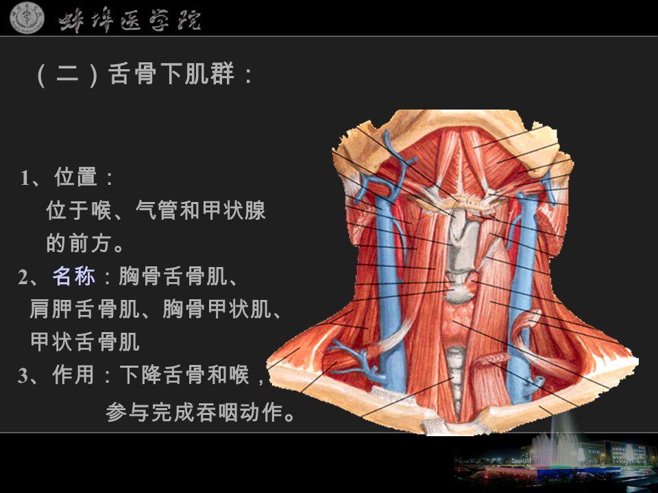 1 、位置: 位于喉、气管和甲状腺 的前方。 2 、名称:胸骨舌骨肌、 肩胛舌骨肌、胸骨甲状肌、 甲状舌骨肌 3 、作用:下降舌骨和喉, 参与完成吞咽动作 。 (二)舌骨下肌群: