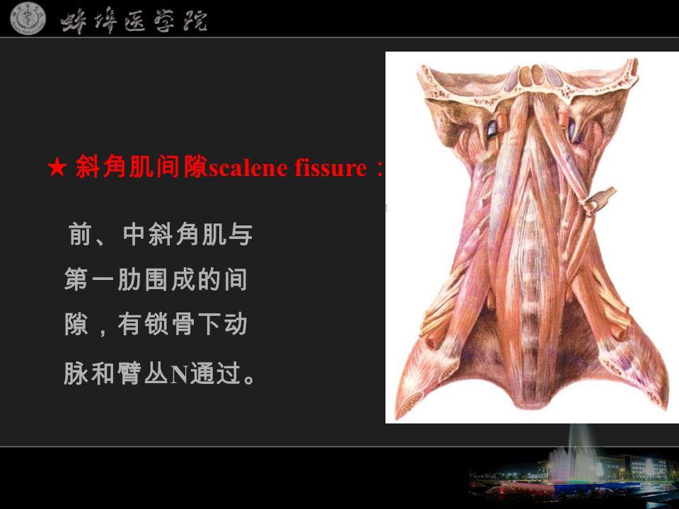 前、中斜角肌与 第一肋围成的间 隙,有锁骨下动 脉和臂丛 N 通过。 ★ 斜角肌间隙 scalene fissure :