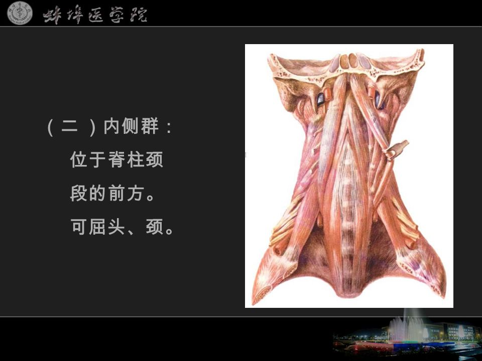 (二 )内侧群: 位于脊柱颈 段的前方。 可屈头、颈。