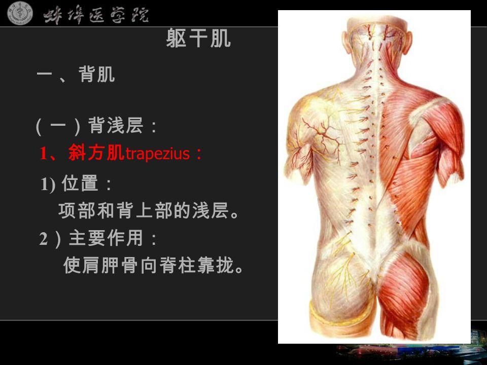(一)背浅层: 1 、斜方肌 trapezius : 1) 位置: 项部和背上部的浅层。 2 )主要作用: 使肩胛骨向脊柱靠拢。 躯干肌 一 、背肌
