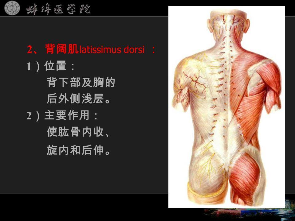 2 、背阔肌 latissimus dorsi : 1 )位置: 背下部及胸的 后外侧浅层。 2 )主要作用: 使肱骨内收、 旋内和后伸。