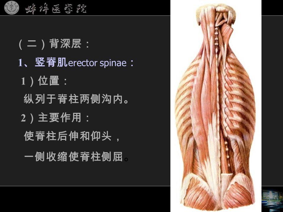 (二)背深层: 1 、竖脊肌 erector spinae : 1 )位置: 纵列于脊柱两侧沟内。 2 )主要作用: 使脊柱后伸和仰头, 一侧收缩使脊柱侧屈 。