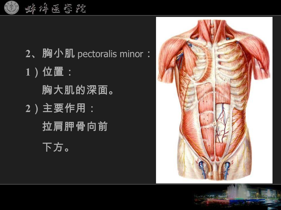 2 、胸小肌 pectoralis minor : 1 )位置: 胸大肌的深面。 2 )主要作用: 拉肩胛骨向前 下方。
