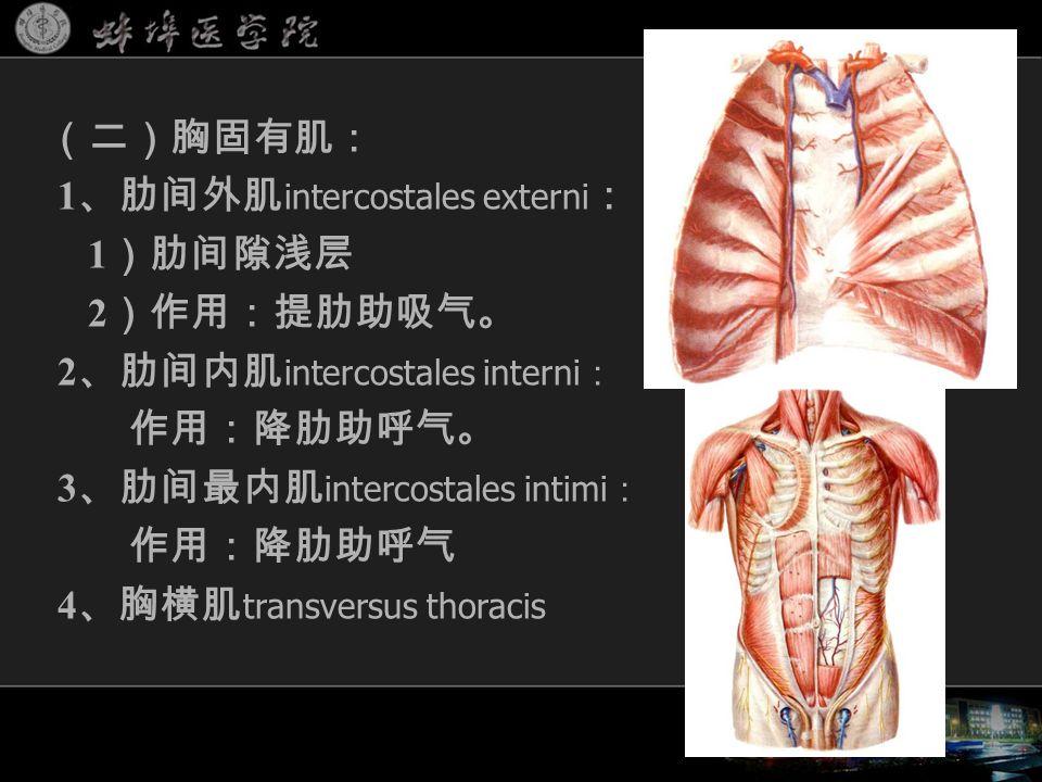 (二)胸固有肌: 1 、肋间外肌 intercostales externi : 1 )肋间隙浅层 2 )作用:提肋助吸气。 2 、肋间内肌 intercostales interni : 作用:降肋助呼气。 3 、肋间最内肌 intercostales intimi : 作用:降肋助呼气 4 、胸横肌 transversus thoracis