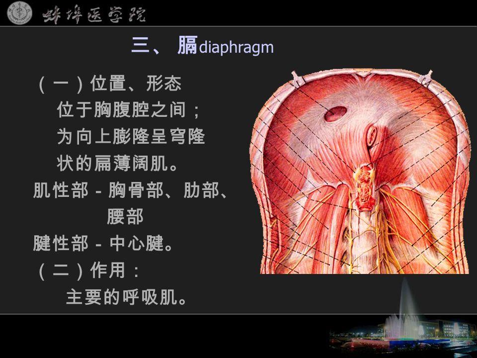 (一)位置、形态 位于胸腹腔之间; 为向上膨隆呈穹隆 状的扁薄阔肌。 肌性部-胸骨部、肋部、 腰部 腱性部-中心腱。 (二)作用: 主要的呼吸肌。 三、 膈 diaphragm