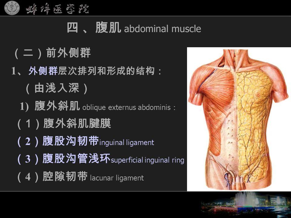 (二)前外侧群 1 、 外侧群层次排列和形成的结构: (由浅入深) 1) 腹外斜肌 oblique externus abdominis : ( 1 )腹外斜肌腱膜 ( 2 )腹股沟韧带 inguinal ligament ( 3 )腹股沟管浅环 superficial inguinal ring ( 4 )腔隙韧带 lacunar ligament 四 、腹肌 abdominal muscle
