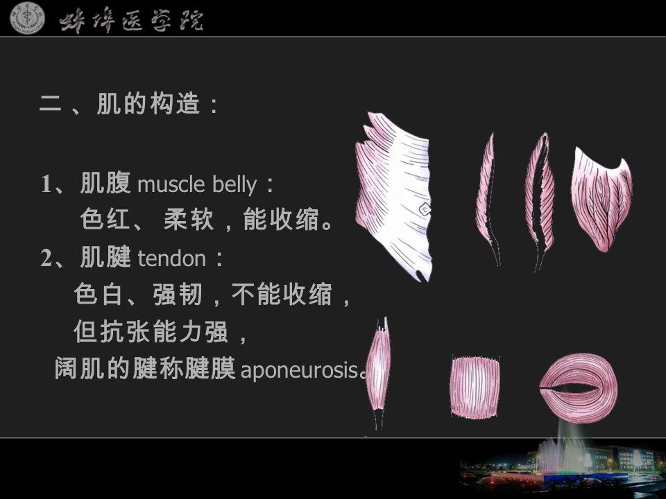 1 、肌腹 muscle belly : 色红、 柔软,能收缩。 2 、肌腱 tendon : 色白、强韧,不能收缩, 但抗张能力强, 阔肌的腱称腱膜 aponeurosis 。 二 、肌的构造:
