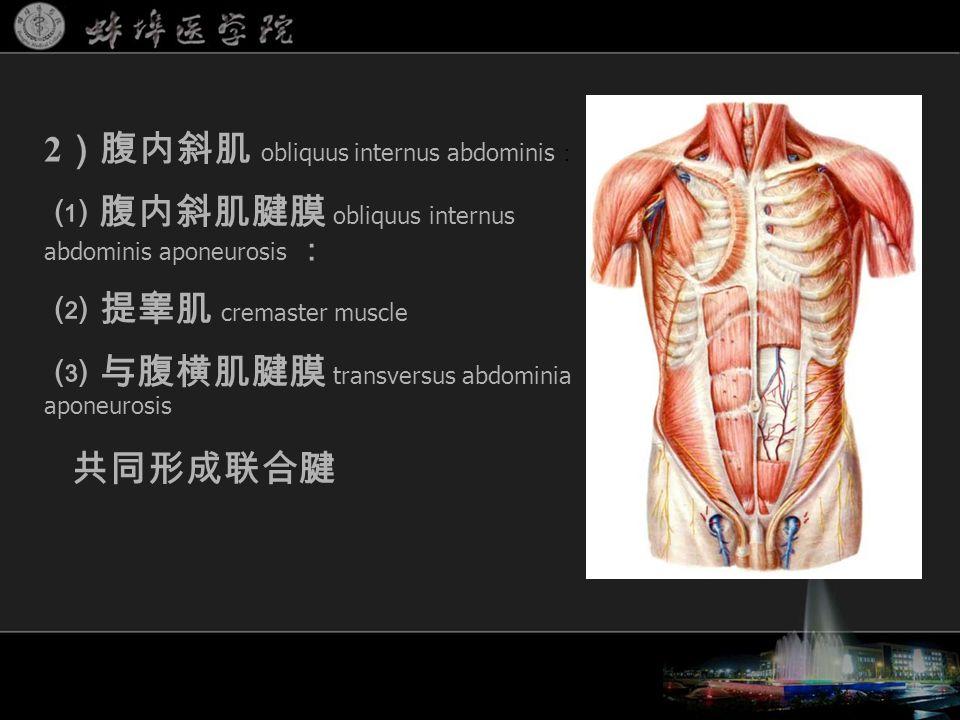 2 )腹内斜肌 obliquus internus abdominis : ⑴ 腹内斜肌腱膜 obliquus internus abdominis aponeurosis : ⑵ 提睾肌 cremaster muscle ⑶ 与腹横肌腱膜 transversus abdominia aponeurosis 共同形成联合腱