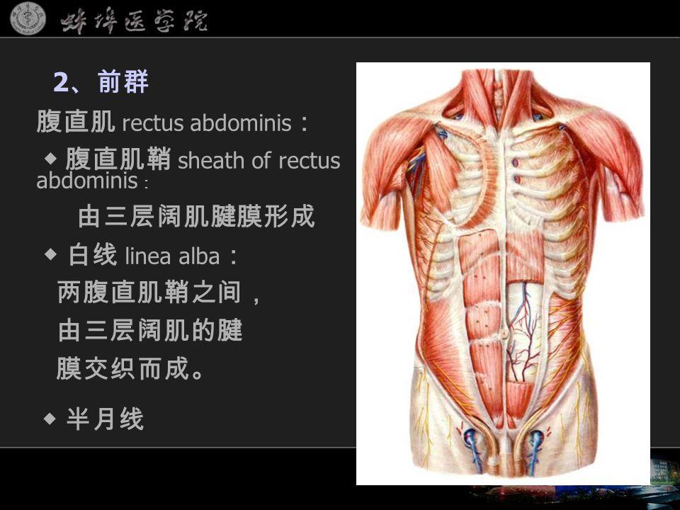 腹直肌 rectus abdominis : ◆ 腹直肌鞘 sheath of rectus abdominis : 由三层阔肌腱膜形成 ◆ 白线 linea alba : 两腹直肌鞘之间, 由三层阔肌的腱 膜交织而成。 2 、前群 ◆ 半月线