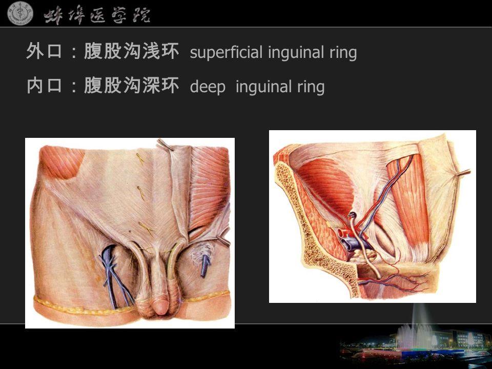 外口:腹股沟浅环 superficial inguinal ring 内口:腹股沟深环 deep inguinal ring