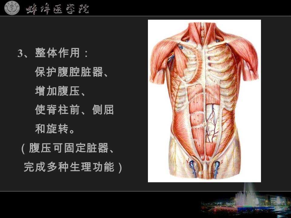 3 、整体作用: 保护腹腔脏器、 增加腹压、 使脊柱前、侧屈 和旋转。 (腹压可固定脏器、 完成多种生理功能)