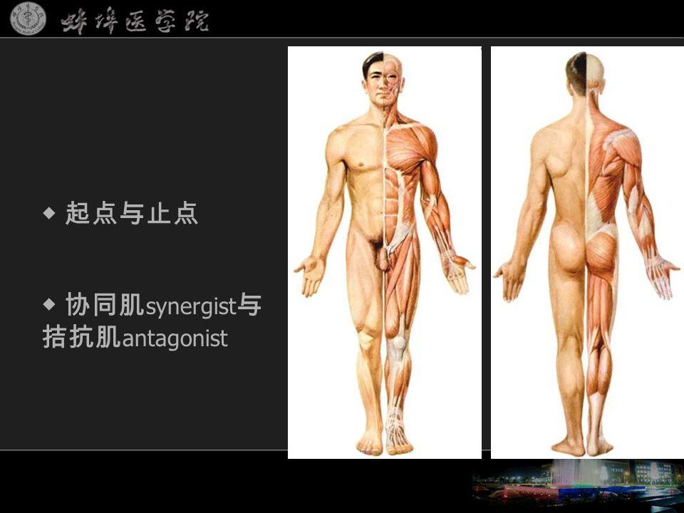 ◆ 协同肌 synergist 与 拮抗肌 antagonist ◆ 起点与止点