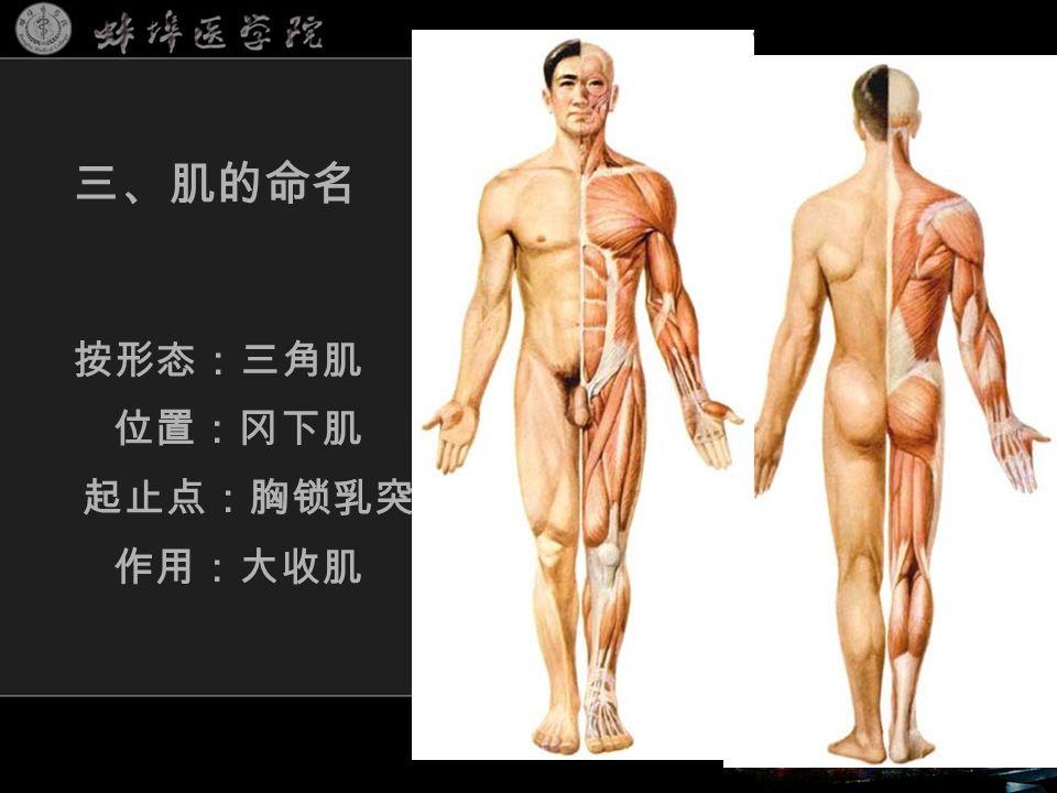 三、肌的命名 按形态:三角肌 位置:冈下肌 起止点:胸锁乳突肌 作用:大收肌