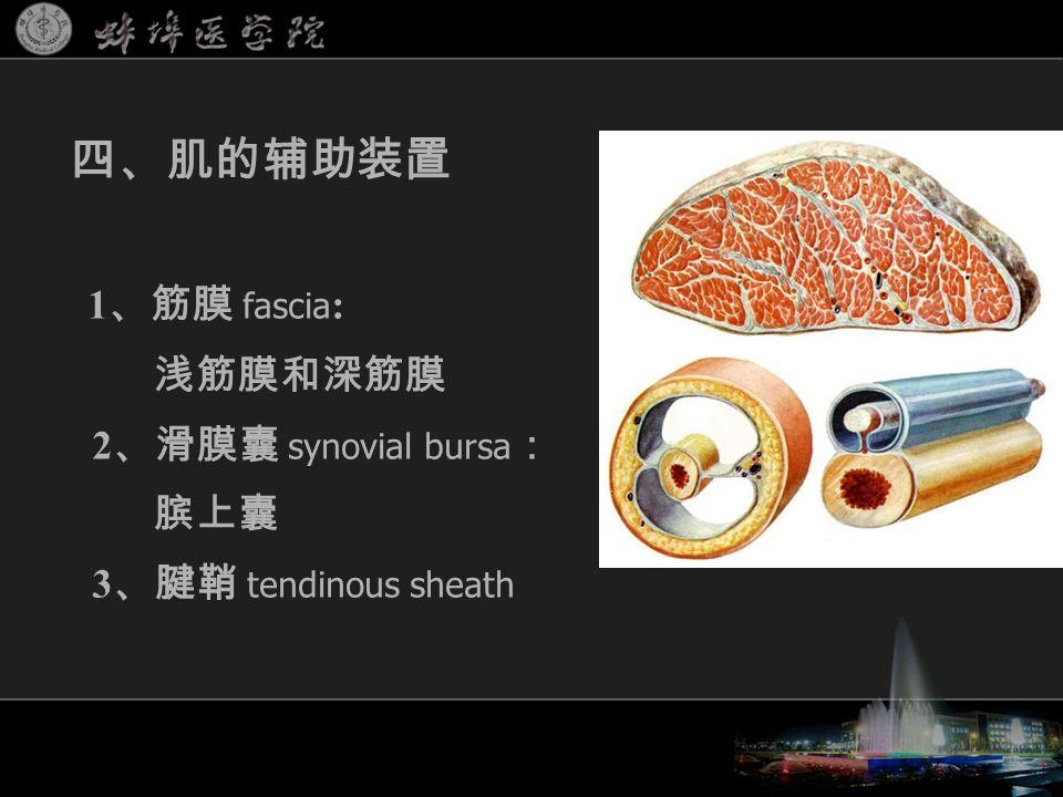 1 、筋膜 fascia : 浅筋膜和深筋膜 2 、滑膜囊 synovial bursa : 膑上囊 3 、腱鞘 tendinous sheath 四、肌的辅助装置