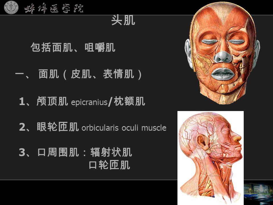 头肌 1 、颅顶肌 epicranius / 枕额肌 2 、眼轮匝肌 orbicularis oculi muscle 3 、口周围肌:辐射状肌 口轮匝肌 包括面肌、咀嚼肌 一、 面肌(皮肌、表情肌)